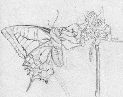 Petit papillon zeljiko une histoire de dessin - Dessin petit papillon ...